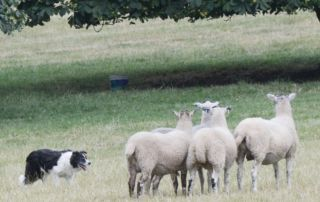 The Henley Show - Sheepdog Trial