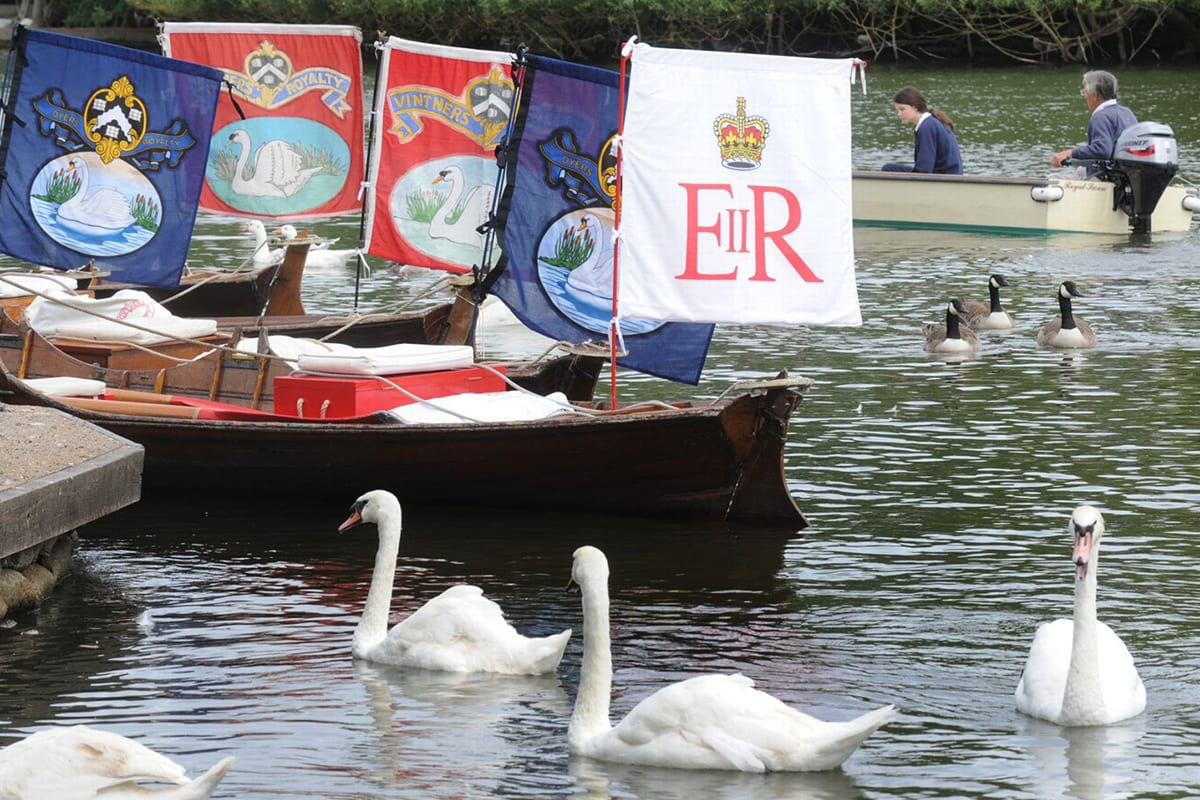 Royal Swan - Swan Upping